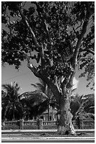 Old tree and colonial-area house, Con Son. Con Dao Islands, Vietnam ( black and white)