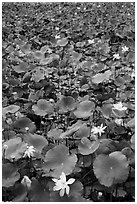 Flowering lotus. Con Dao Islands, Vietnam ( black and white)