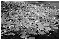 Lotus with flowers. Con Dao Islands, Vietnam ( black and white)