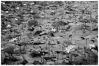 Carpet of lotus flowers. Con Dao Islands, Vietnam ( black and white)