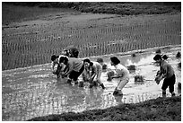 Women tending to rice fields. Vietnam (black and white)