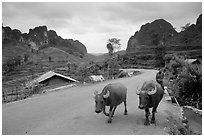 Man walking down two water buffaloes down the road, Ma Phuoc Pass area. Northeast Vietnam (black and white)