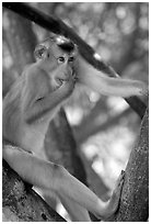 Monkey. Vietnam (black and white)