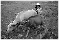 Thai women guiding water buffaloes in the field, near Son La. Northwest Vietnam ( black and white)