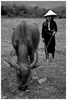 Thai women wearing her traditional dress and the Vietnamese conical hat, with water buffalo, near Son La. Northwest Vietnam ( black and white)