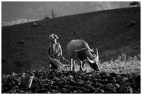 Dzao woman using a water buffao to plow a field, near Tuan Giao. Northwest Vietnam ( black and white)