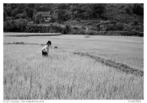 Thai woman tending to the rice fields, Tuan Giao. Northwest Vietnam (black and white)