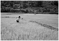 Thai woman tending to the rice fields, Tuan Giao. Northwest Vietnam ( black and white)