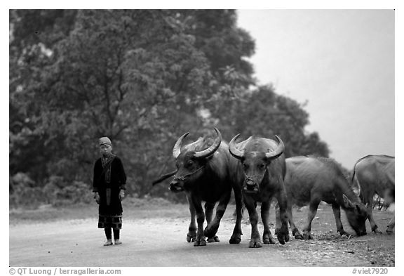 Boy keeping water buffaloes. Sapa, Vietnam (black and white)