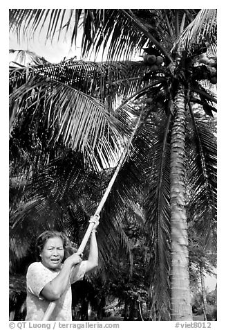 Woman harvesting coconut fruit. Ben Tre, Vietnam (black and white)