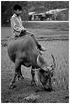Boy sitting on water buffalo, near the Perfume Pagoda. Vietnam ( black and white)