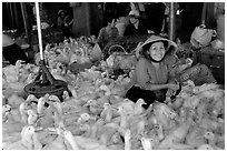 Live ducks for sale, district 6. Cholon, Ho Chi Minh City, Vietnam ( black and white)
