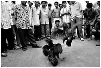 Rooster fight is a popular past time. Mekong Delta, Vietnam (black and white)