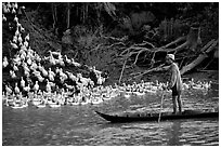 Herding a flock a ducks, near Long Xuyen. Mekong Delta, Vietnam ( black and white)