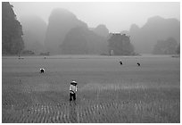 Villagers working in rice fields among karstic mountains of Tam Coc. Ninh Binh,  Vietnam ( black and white)