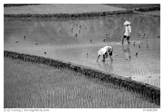 Tending to rice field in the mountains. Vietnam (black and white)