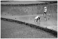 Tending to rice field in the mountains. Vietnam ( black and white)