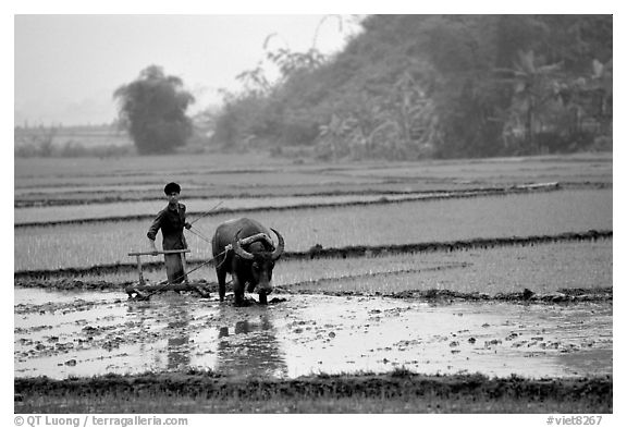 Black and white picture photo working the rice field with a water buffalo in the mountains vietnam