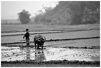 Working the rice field with a water buffalo in the mountains. Vietnam ( black and white)