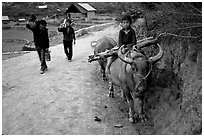 Returning from the fields with the buffalo. Bac Ha, Vietnam (black and white)