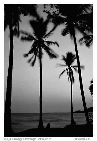 Palm trees swaying in the breeze at sunset. Hong Chong Peninsula, Vietnam (black and white)