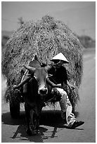 Cow carriage loaded with hay. Mekong Delta, Vietnam (black and white)