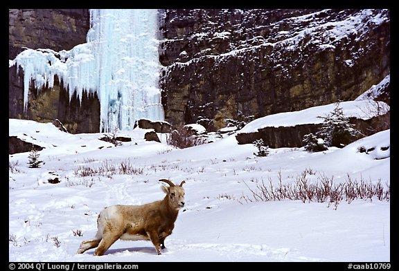 Mountain Goat at the base of a frozen waterfall. Banff National Park, Canadian Rockies, Alberta, Canada (color)