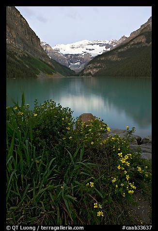 Yellow flowers, Victoria Peak, and green-blue Lake Louise, dawn. Banff National Park, Canadian Rockies, Alberta, Canada (color)