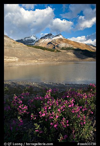 Wildflowers and  glacial pond at the base of the Athabasca Glacier. Jasper National Park, Canadian Rockies, Alberta, Canada (color)