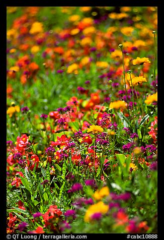 Colorful annuals with out of focus background. Butchart Gardens, Victoria, British Columbia, Canada (color)