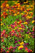 Colorful annuals with out of focus background. Butchart Gardens, Victoria, British Columbia, Canada ( color)