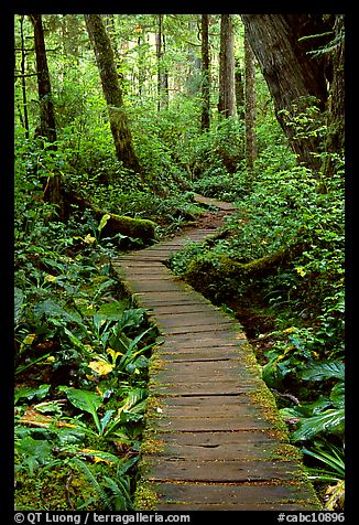 Boardwalk in rain forest. Pacific Rim National Park, Vancouver Island, British Columbia, Canada
