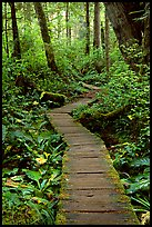 Boardwalk in rain forest. Pacific Rim National Park, Vancouver Island, British Columbia, Canada ( color)
