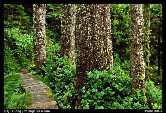 Boardwalk and trees in rain forest. Pacific Rim National Park, Vancouver Island, British Columbia, Canada