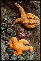 Sea stars and green anemones, Long Beach. Pacific Rim National Park, Vancouver Island, British Columbia, Canada (color)