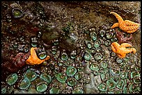 Rock covered with sea stars and green anemones, Long Beach. Pacific Rim National Park, Vancouver Island, British Columbia, Canada (color)