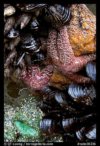 Sea stars and mussels,  South Beach. Pacific Rim National Park, Vancouver Island, British Columbia, Canada (color)