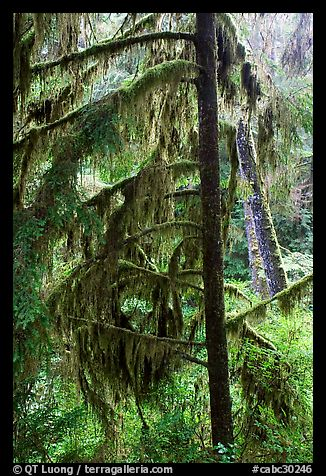 Temperate Rain Forest. Pacific Rim National Park, Vancouver Island, British Columbia, Canada (color)