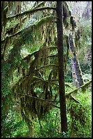 Temperate Rain Forest. Pacific Rim National Park, Vancouver Island, British Columbia, Canada ( color)