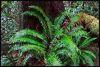Ferns and trunk. Pacific Rim National Park, Vancouver Island, British Columbia, Canada (color)