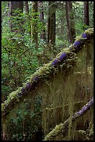 Moss in rain forest. Pacific Rim National Park, Vancouver Island, British Columbia, Canada