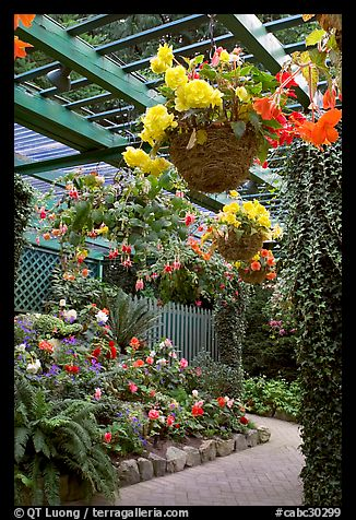 Hanging baskets with begonias and fuchsias. Butchart Gardens, Victoria, British Columbia, Canada (color)