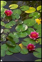 Water lilies. Butchart Gardens, Victoria, British Columbia, Canada (color)