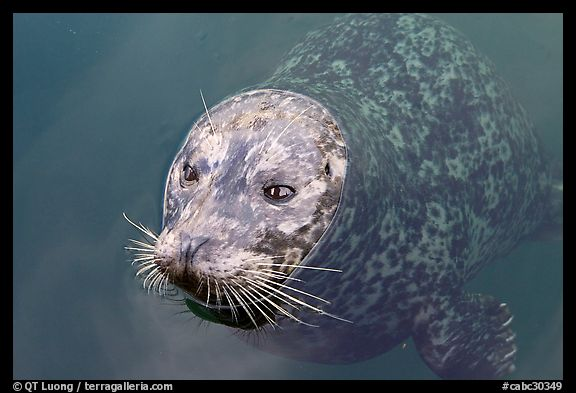 Harbor seal. Victoria, British Columbia, Canada (color)
