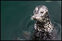 Harbour seal. Victoria, British Columbia, Canada ( color)