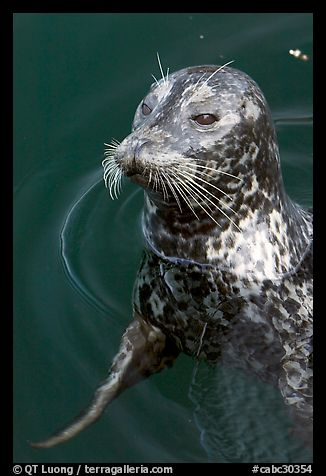 Harbour seal. Victoria, British Columbia, Canada (color)