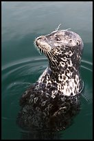 Harbor seal. Victoria, British Columbia, Canada ( color)
