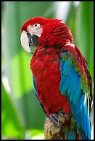 Colorful Parrot, Bloedel conservatory, Queen Elizabeth Park. Vancouver, British Columbia, Canada ( color)
