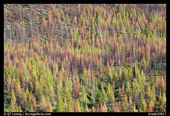 Partly burned forest on hillside. Kootenay National Park, Canadian Rockies, British Columbia, Canada (color)