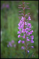 Fireweed close-up. Kootenay National Park, Canadian Rockies, British Columbia, Canada (color)
